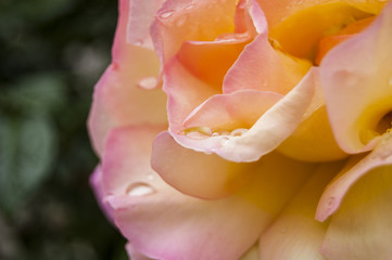 Wallaper Yellow Rose with dews