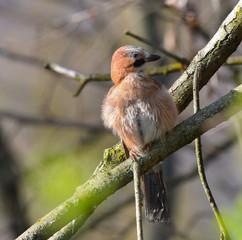 Ghiandaia sul ramo nel bosco