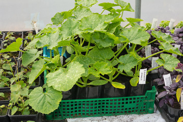 Courgette/zucchini plants in pots for planting