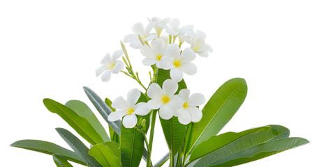 white frangipani tropical flower, plumeria flower blooming on tr