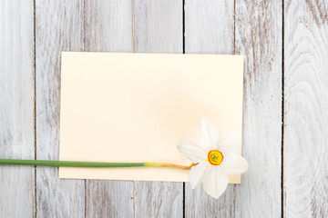 Narcissus flower on wooden background. Space for text