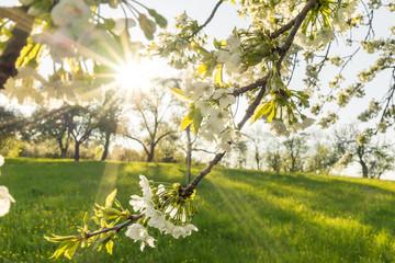 Obstblüte einer Streuobstwiese im Frühling