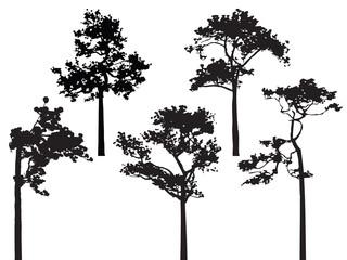 Sumatran pine tree silhouette vector.