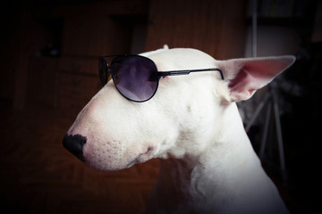 White English bull Terrier in sunglasses