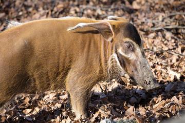 Red river hog, Potamochoerus porcus pictus, is the best representative of pigs
