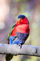 Black-capped Lory, Lorius lory erythrothorax, full of colors