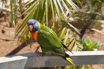 a solomon Island Eclectus Parrots ( Eclectus roratus solomonensis)