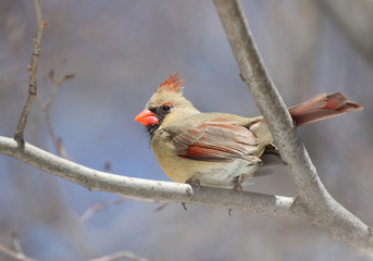 femelle cardinal