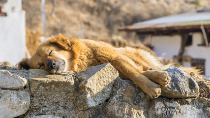 Brown  Sleeping Dog on stone wall