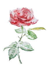 Illustration with red rose.  Watercolor.