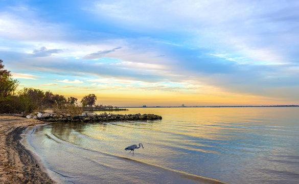 Great Blue Heron on a Chesapeake Bay beach at sunset