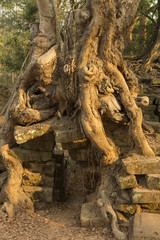 Tree on stone wall of Prasat Ta Prohm Temple in Angkor Thom