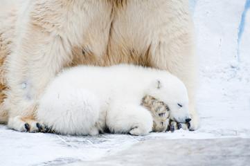 Little polar cub bear sleeps on his mother's paws.
