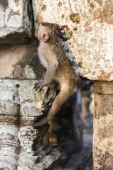 Macaque Monkeys eating on ancient ruins of Angkor, Cambodia