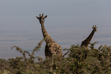 Two Rothschild's giraffes looking up