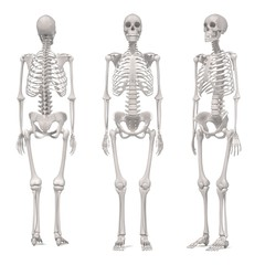 3d renderings of female skeleton