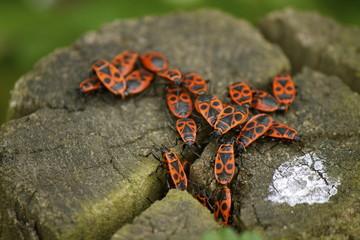 Phyrrhocoris apterus