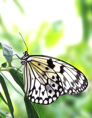 White butterfly, close-up