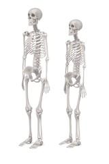 3d renderings of human skeletons