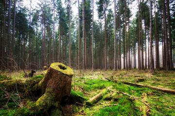 Baumstumpf am Waldboden im Wald