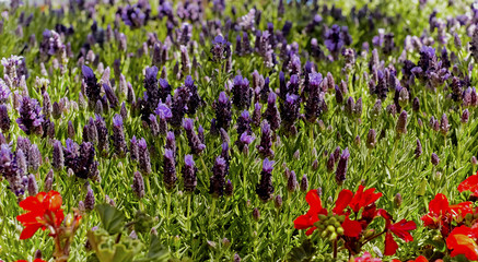 Lavender Flowers with Red Salvia in a Garden