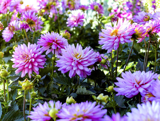 Pink Dahlia Flowers in a Flower Bed