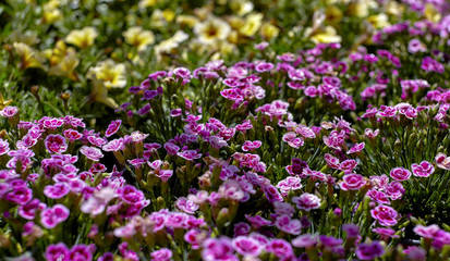 Pink Dianthus Flower Garden