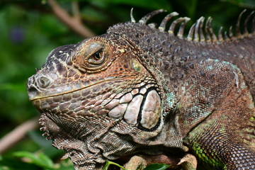 An iguana grabs some sun in the gardens and poses for its portrait.