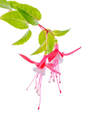 beautiful blooming branch of red and white fuchsia flower is iso