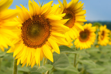 Sunflowers field in Tuscany during summer