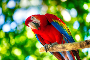 Foto op Canvas Papegaai Red ara parrot outdoor