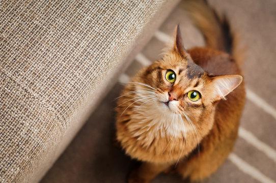 Somali Cat Looking Up