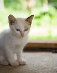 Roan kitten