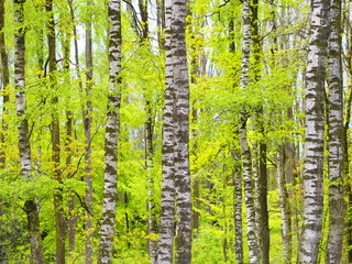 Farbenprächtige Birkenbäume im Frühling