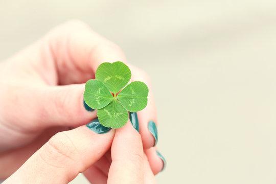 Four leaf clover in female hands closeup