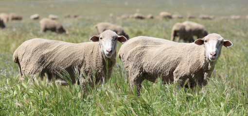 Twin sheep in a meadow. Two sheep in a green grass meadow In a horizontal landscape presentation.