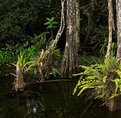 Cypress Trees and Ferns in Swampy Florida Everglades