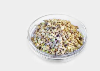 Germinated buckwheat in a glass jar