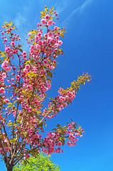 Sakura treer or Cherry tree over blue sky