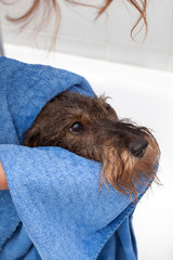 Toelettatura e bagno cane bassotto