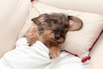 Cane bassotto riposa a letto