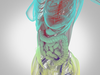 Female human anatomy, torso showing intestines. 3D Illustration.