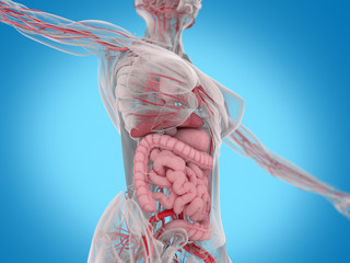 Female human anatomy, torso showing intestines. 3D Illustration.