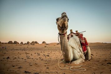 Camel in Numibian desert, Meroe pyramids, Soudan