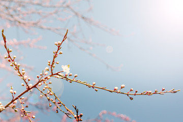 sunny day in the spring garden/unusual light envelops on blossoming flower buds of trees