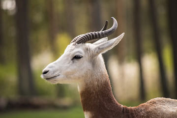 Portrait of a Dama gazelle in the background a Jeep and forest .