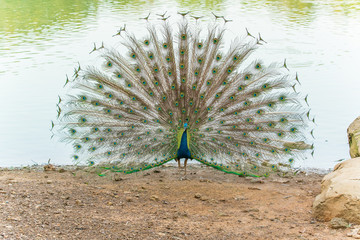 peafowl, peacock, peahen bird breed walking on riverside