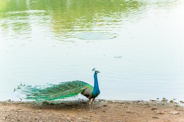 peafowl, peacock, peahen bird breed walking on riverside