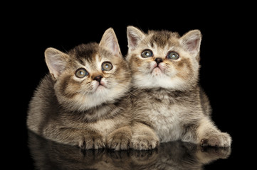Two Scottish Straight Kittens Lying, Curious Looking up Isolated Black