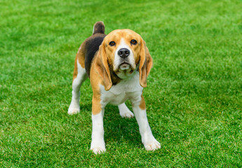 Beagle- young dog standing on the green field.